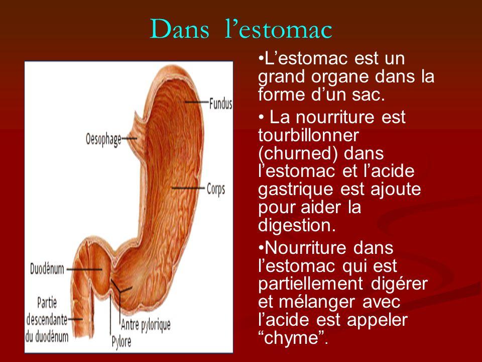 Dans l'estomac L'estomac est un grand organe dans la forme d'un sac.