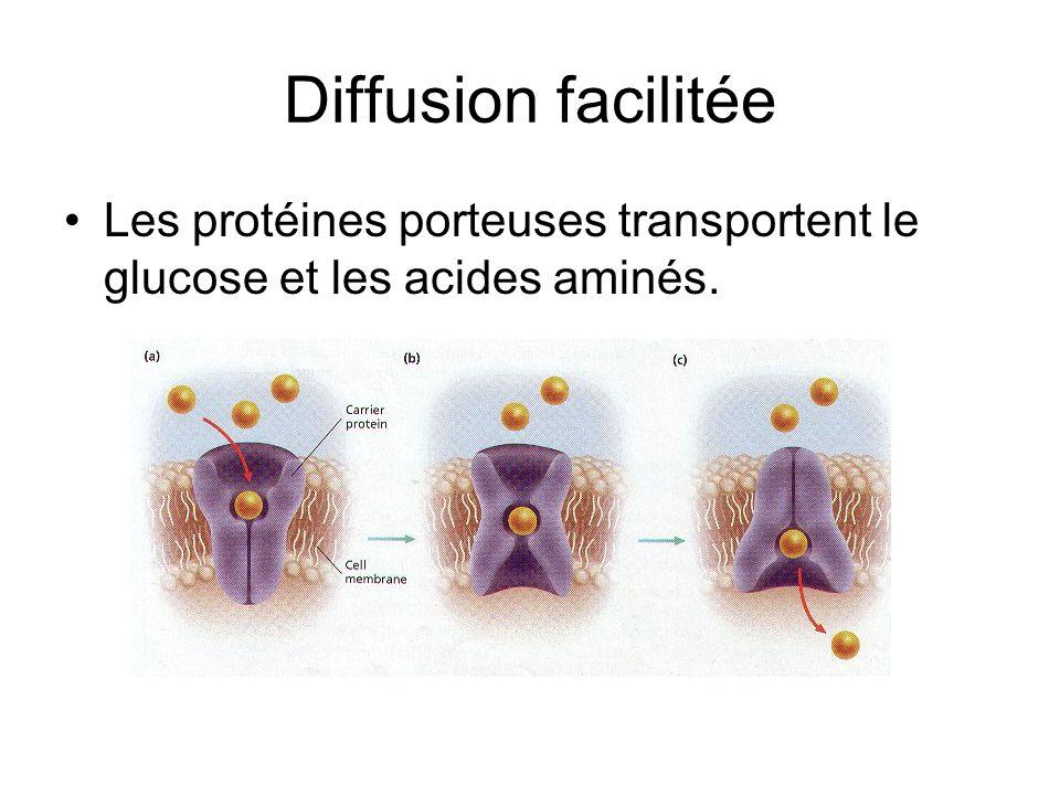 Diffusion facilitée Les protéines porteuses transportent le glucose et les acides aminés.