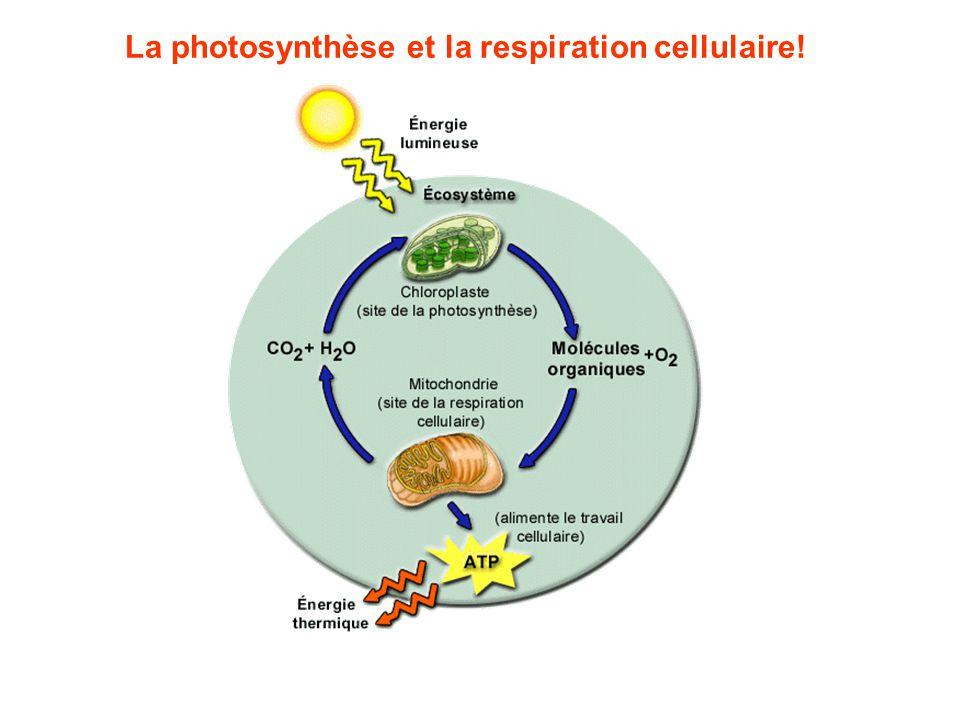 La photosynthèse et la respiration cellulaire!