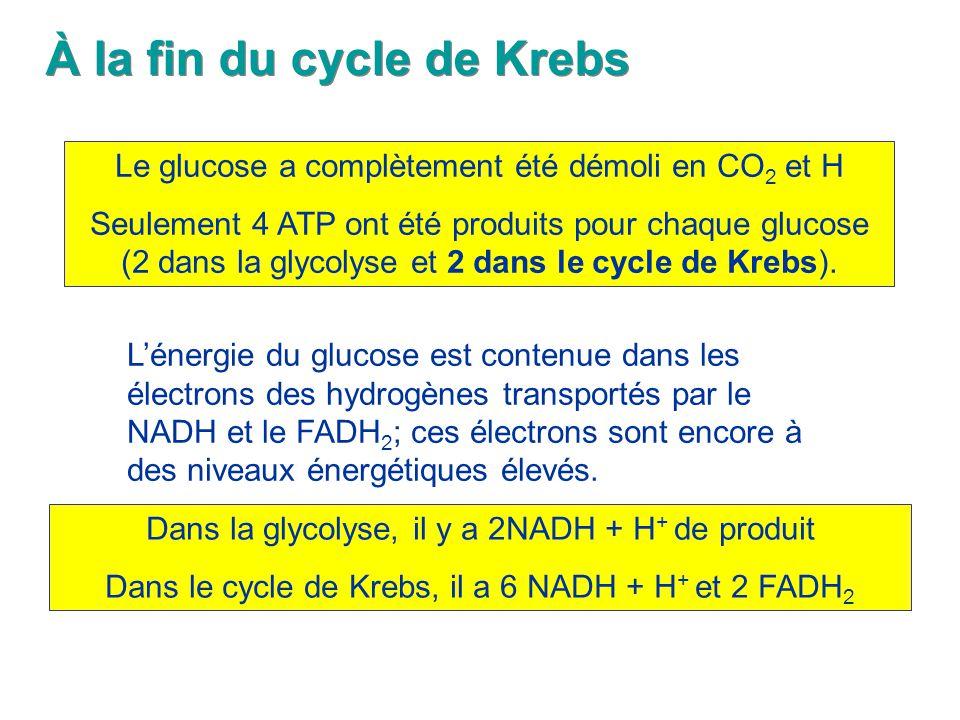 À la fin du cycle de Krebs