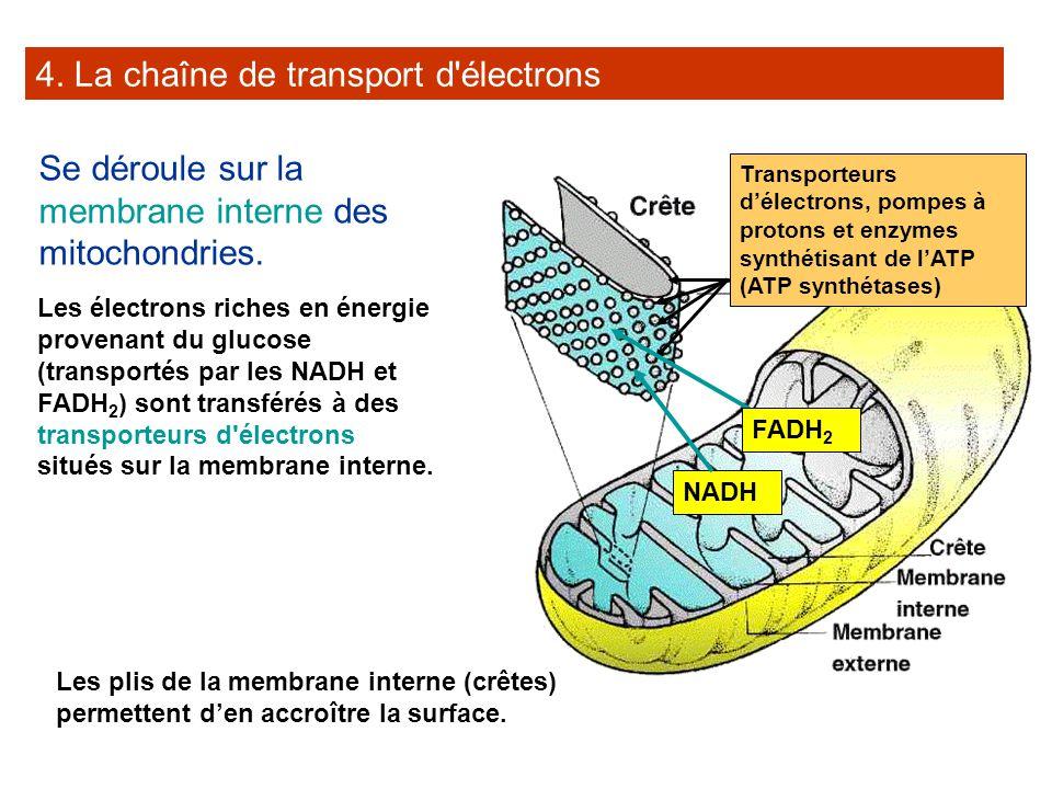 4. La chaîne de transport d électrons