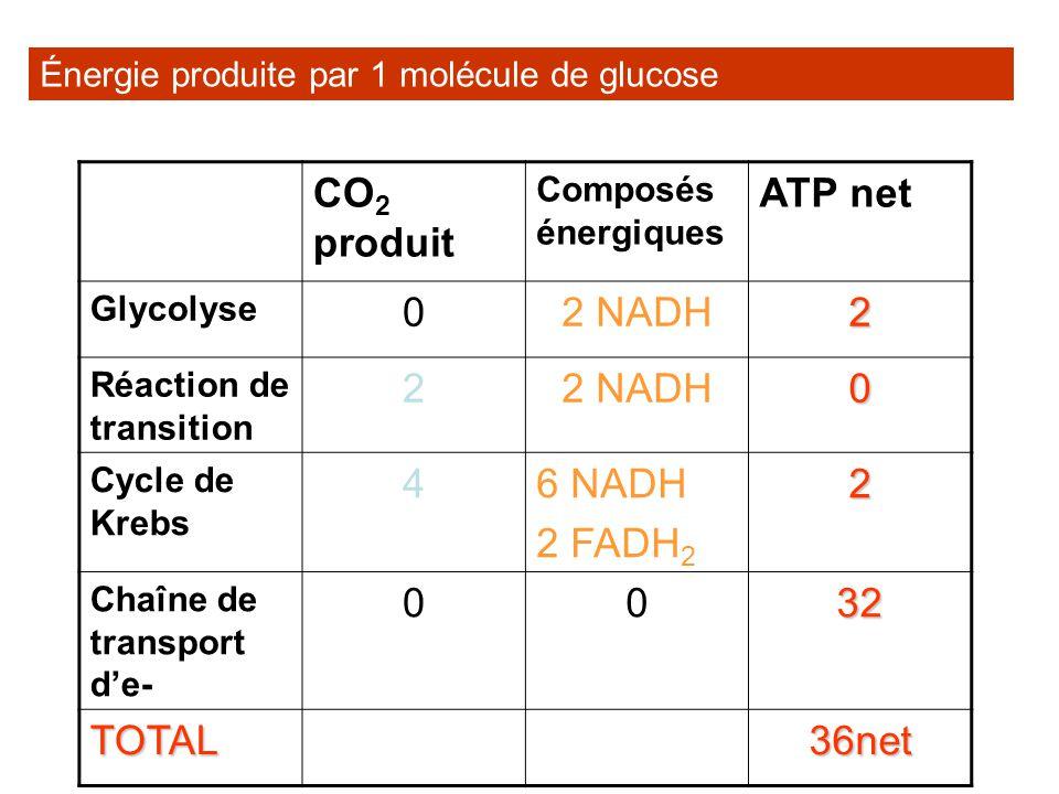 CO2 produit ATP net 2 NADH 2 4 6 NADH 2 FADH2 32 TOTAL 36net