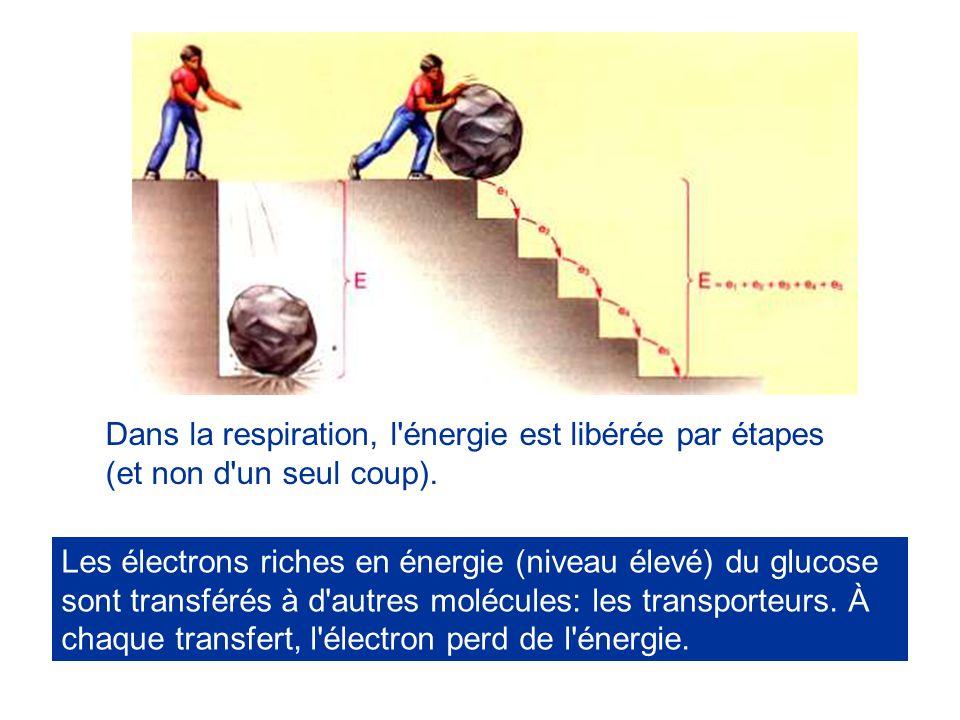 Dans la respiration, l énergie est libérée par étapes (et non d un seul coup).