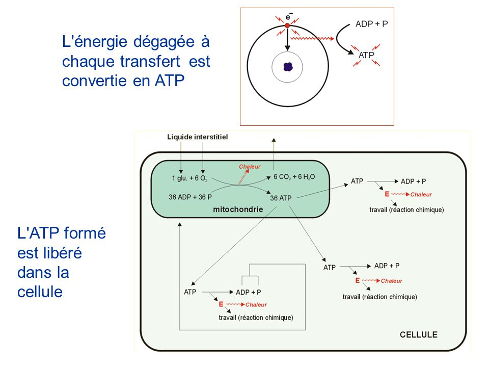 L énergie dégagée à chaque transfert est convertie en ATP