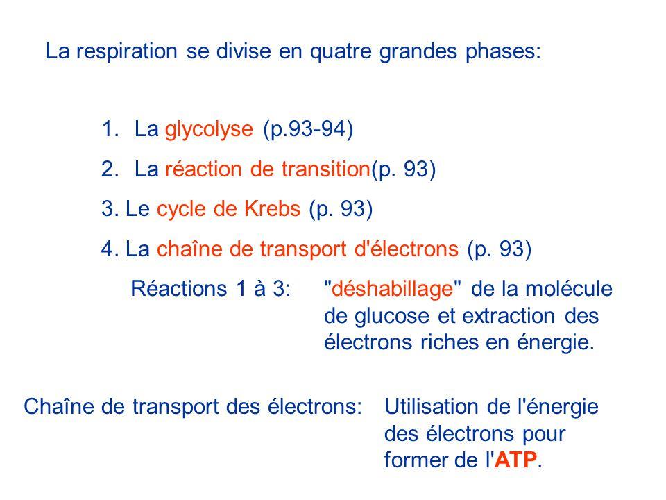 La respiration se divise en quatre grandes phases: