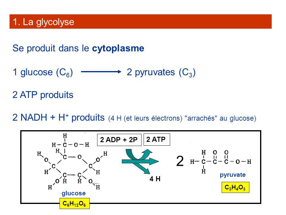 2 1. La glycolyse Se produit dans le cytoplasme 1 glucose (C6)