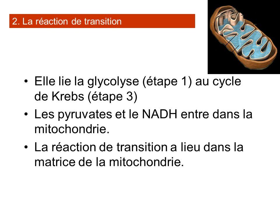 Elle lie la glycolyse (étape 1) au cycle de Krebs (étape 3)