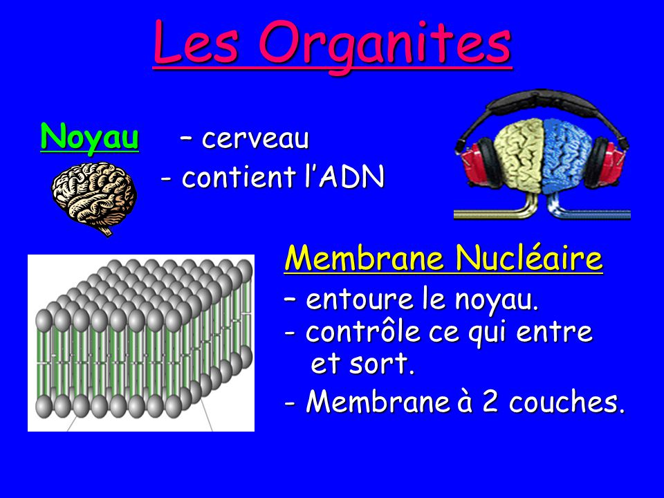 Les Organites Noyau – cerveau - contient l'ADN Membrane Nucléaire