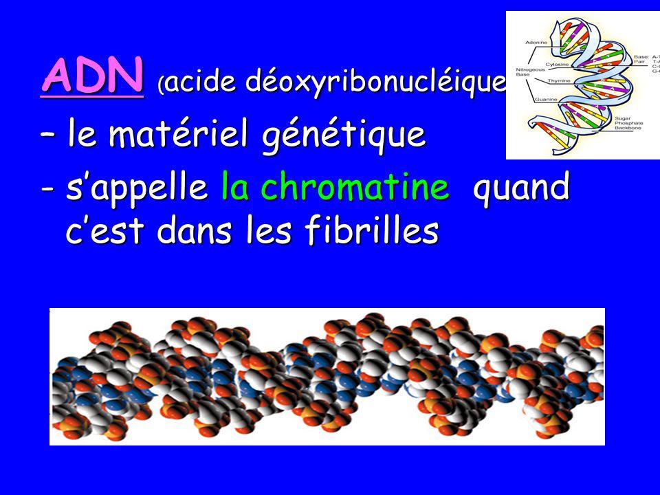 ADN (acide déoxyribonucléique)