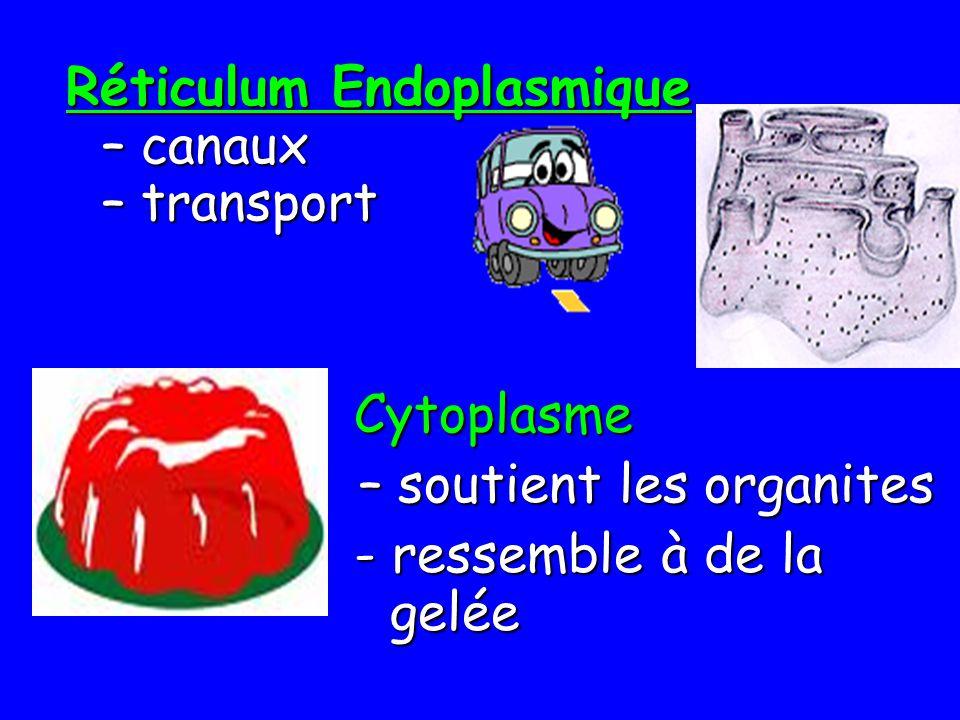 Réticulum Endoplasmique – canaux – transport