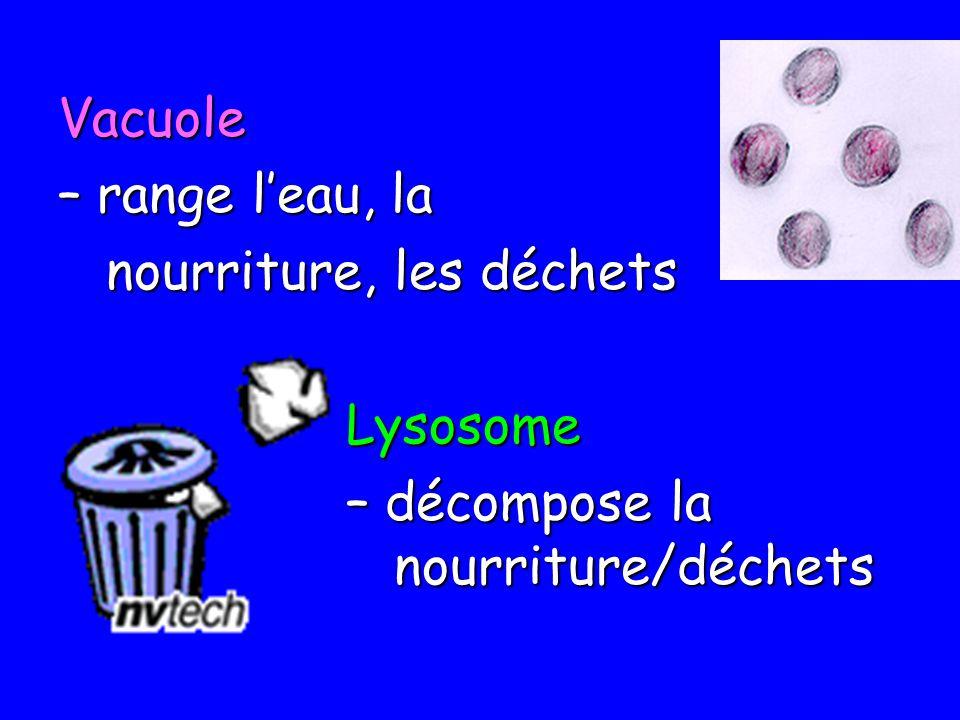 Vacuole – range l'eau, la nourriture, les déchets Lysosome – décompose la nourriture/déchets
