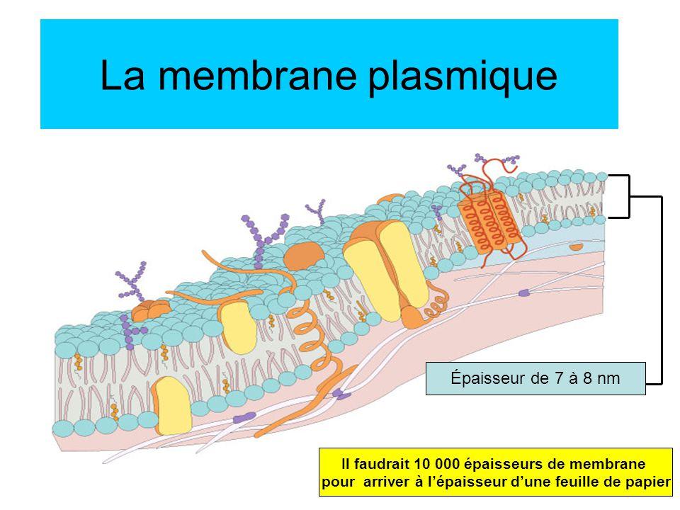 la membrane plasmique paisseur de 7 8 nm ppt video online t l charger. Black Bedroom Furniture Sets. Home Design Ideas