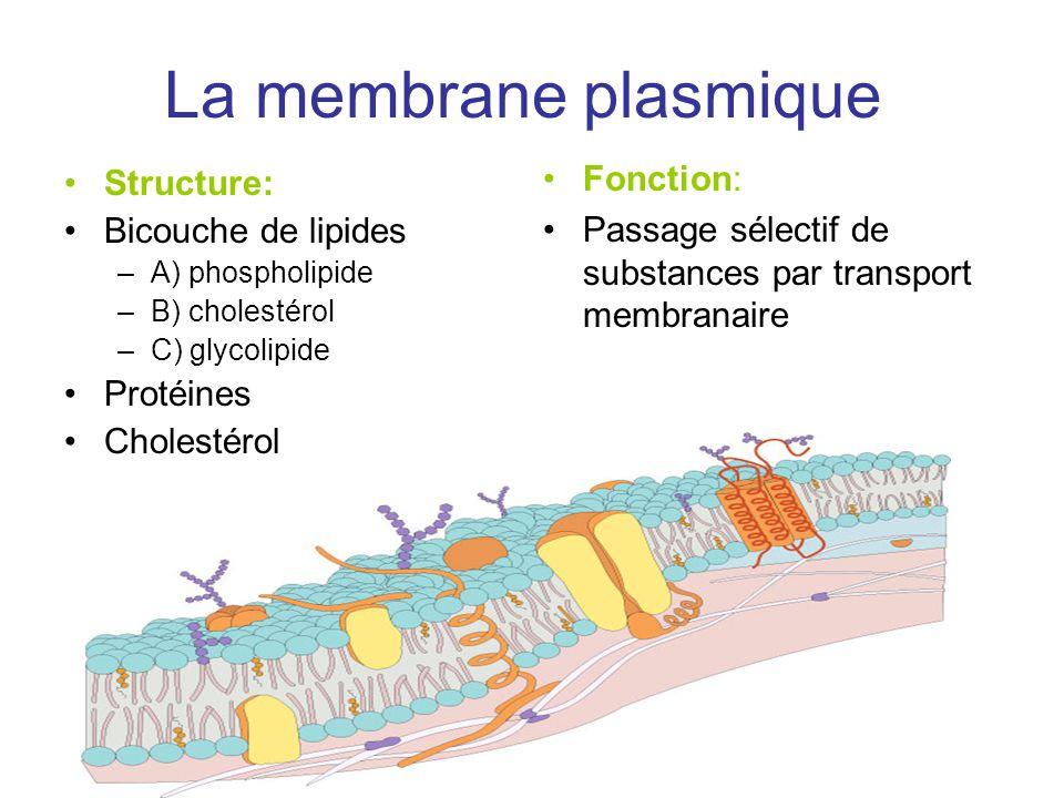 La membrane plasmique Fonction: Structure: