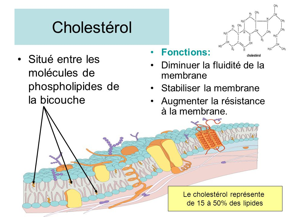 Le cholestérol représente