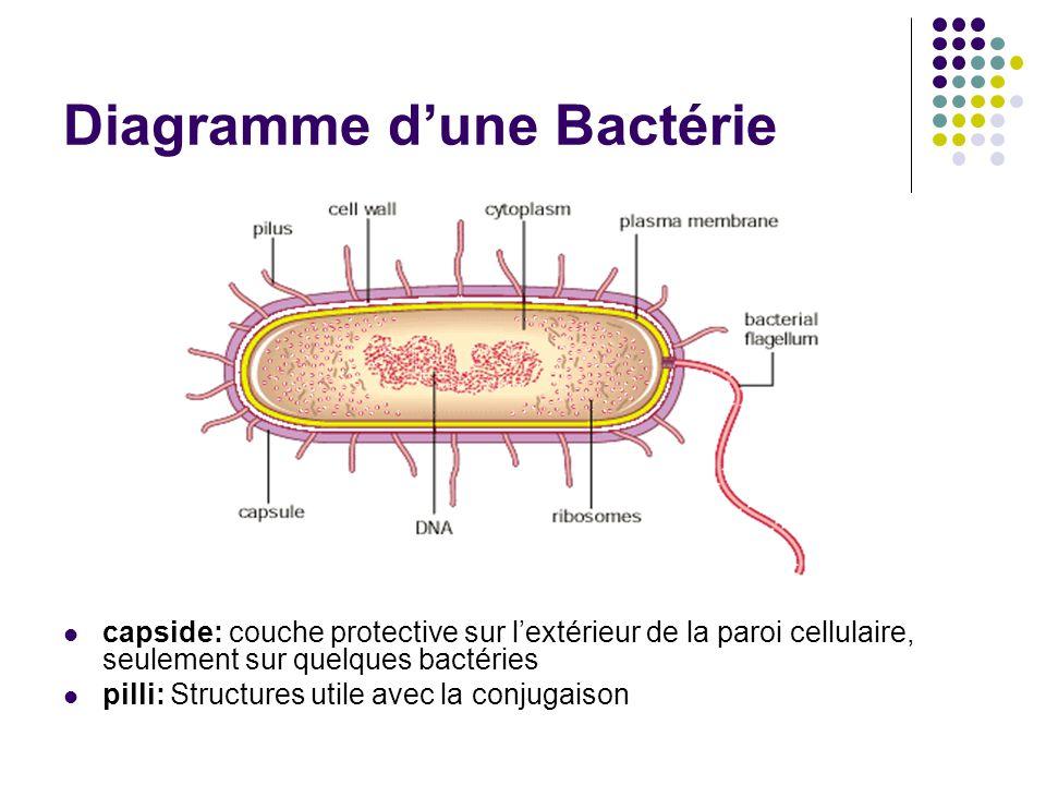 Diagramme d'une Bactérie