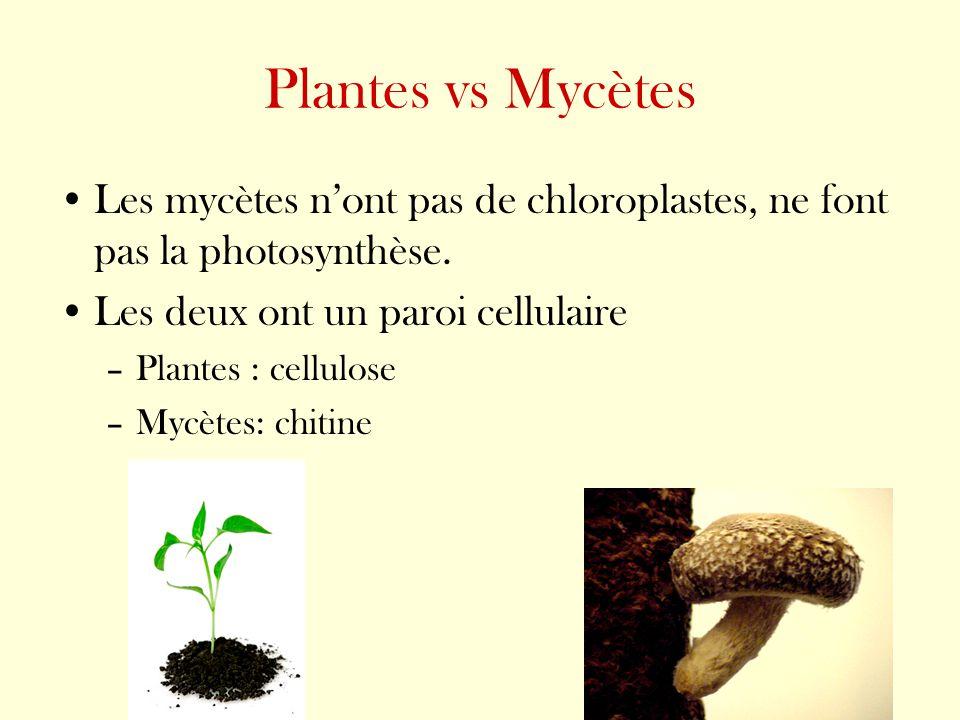 Plantes vs Mycètes Les mycètes n'ont pas de chloroplastes, ne font pas la photosynthèse. Les deux ont un paroi cellulaire.