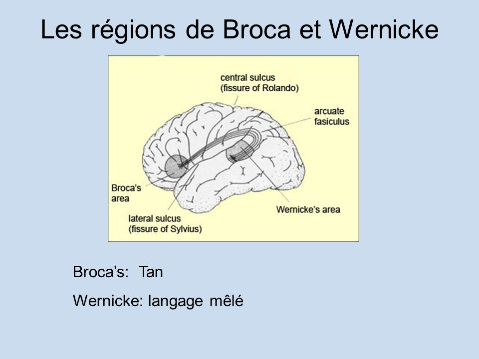 Les régions de Broca et Wernicke
