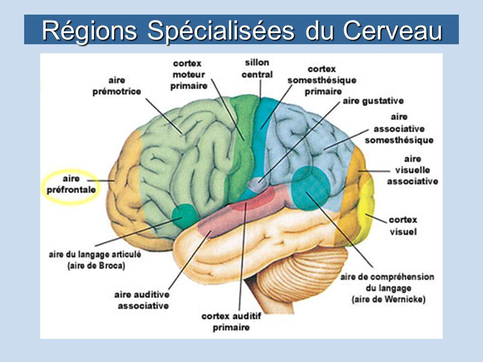 Régions Spécialisées du Cerveau