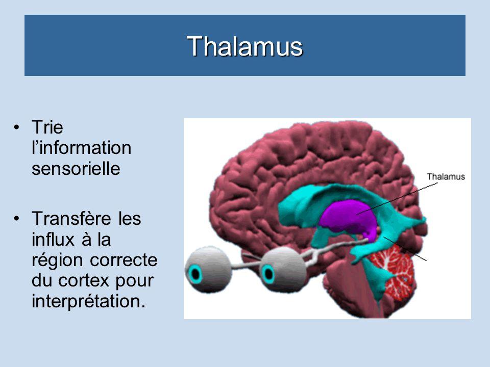 Thalamus Trie l'information sensorielle