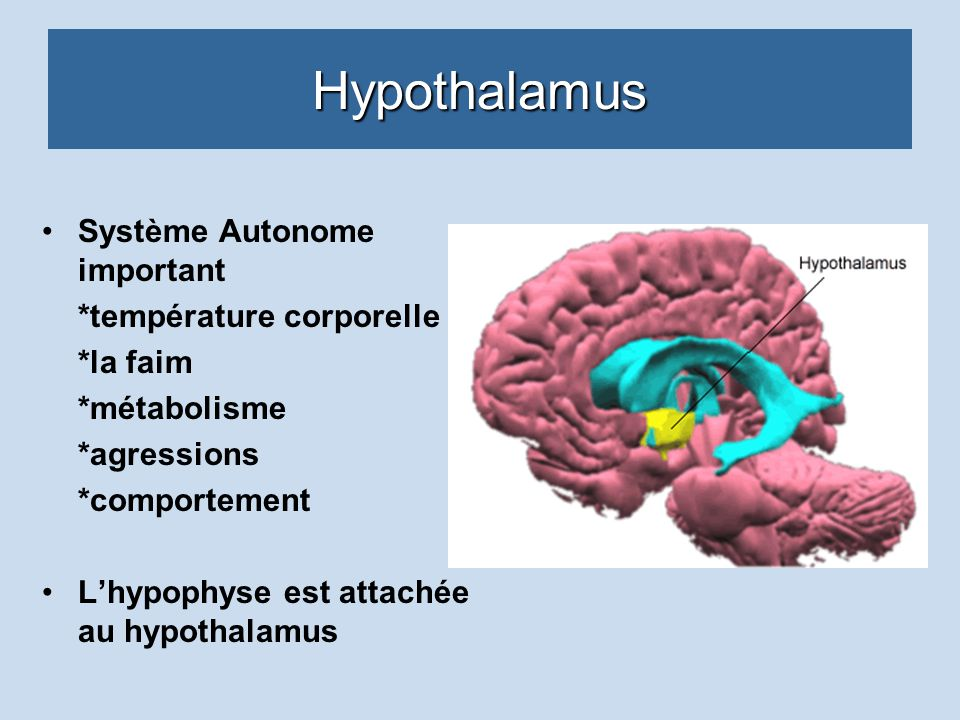 Hypothalamus Système Autonome important *température corporelle