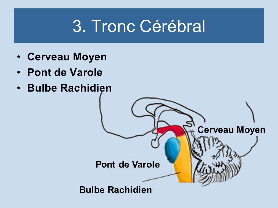 3. Tronc Cérébral Cerveau Moyen Pont de Varole Bulbe Rachidien
