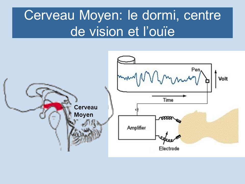 Cerveau Moyen: le dormi, centre de vision et l'ouïe