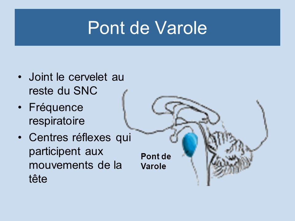 Pont de Varole Joint le cervelet au reste du SNC