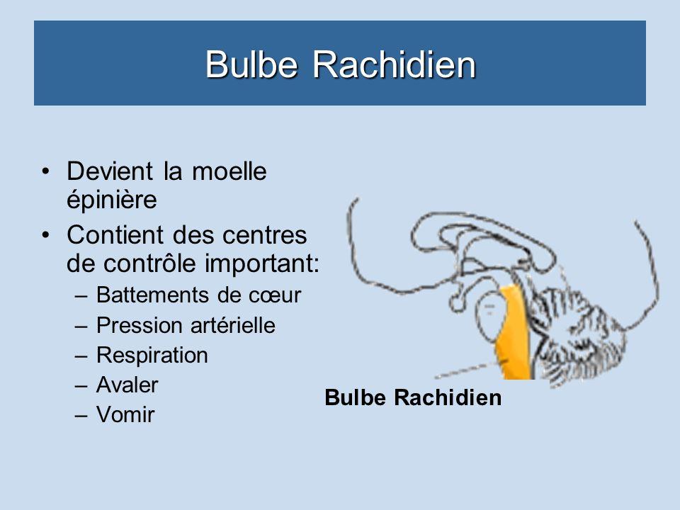 Bulbe Rachidien Devient la moelle épinière