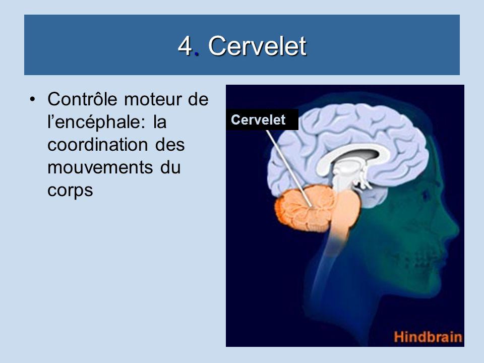 4. Cervelet Contrôle moteur de l'encéphale: la coordination des mouvements du corps Cervelet