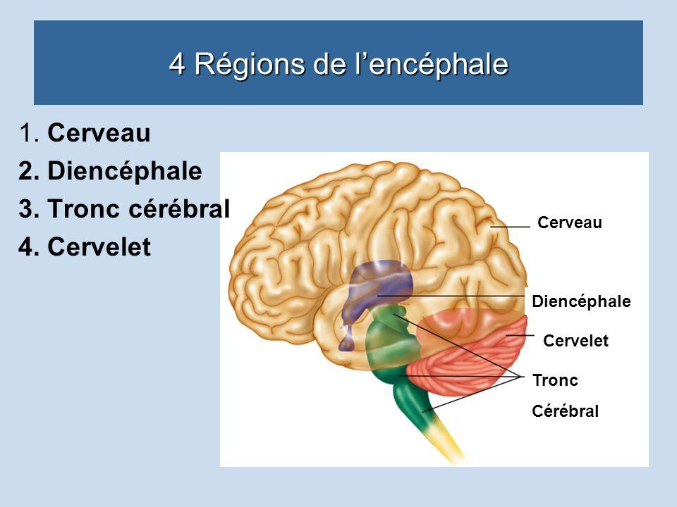 4 Régions de l'encéphale