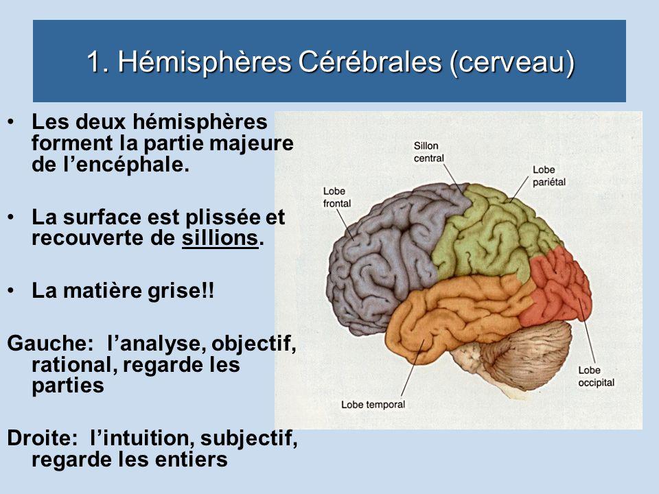 1. Hémisphères Cérébrales (cerveau)