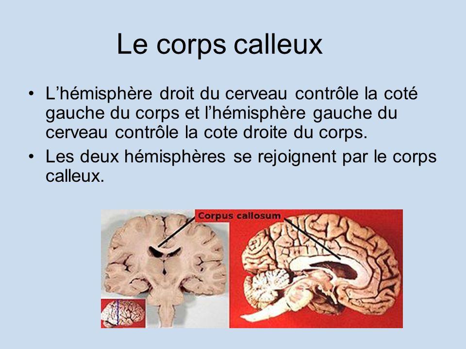 Le corps calleux L'hémisphère droit du cerveau contrôle la coté gauche du corps et l'hémisphère gauche du cerveau contrôle la cote droite du corps.