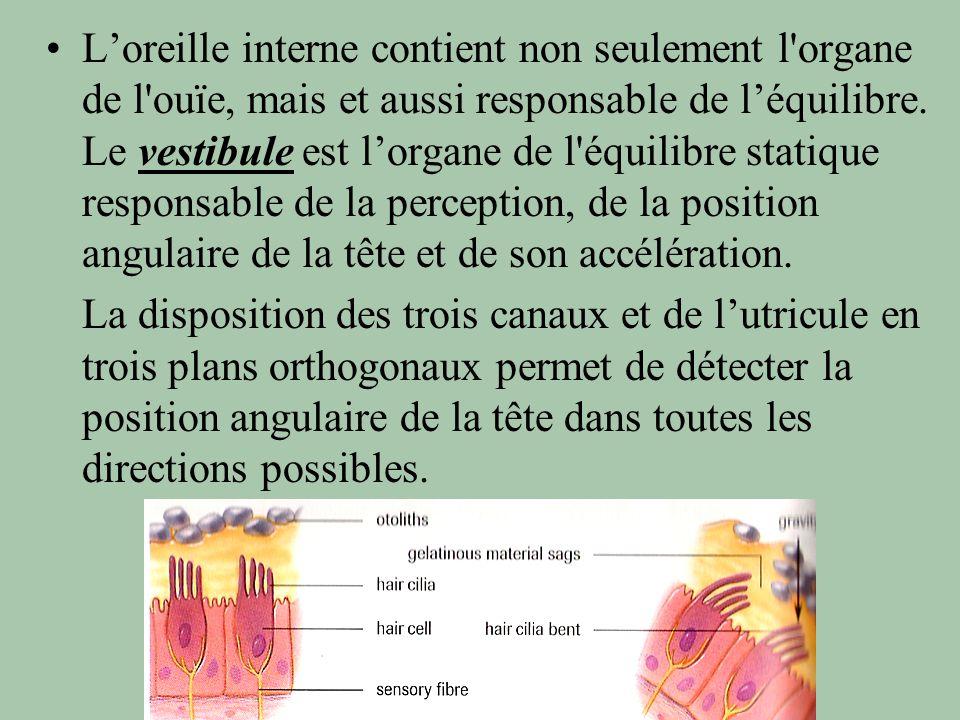 L'oreille interne contient non seulement l organe de l ouïe, mais et aussi responsable de l'équilibre. Le vestibule est l'organe de l équilibre statique responsable de la perception, de la position angulaire de la tête et de son accélération.