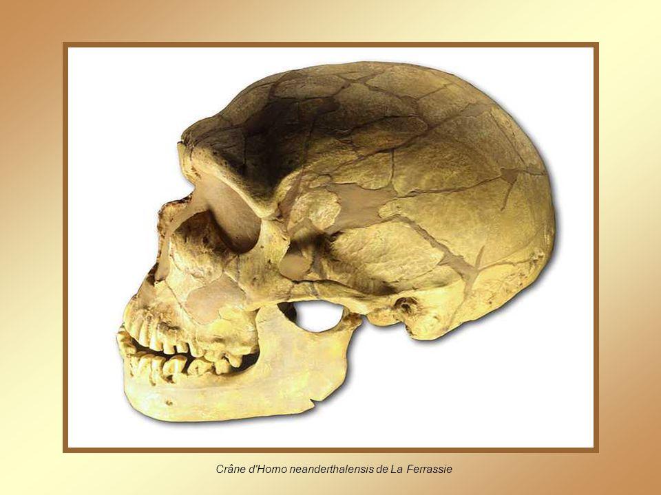 Crâne d Homo neanderthalensis de La Ferrassie