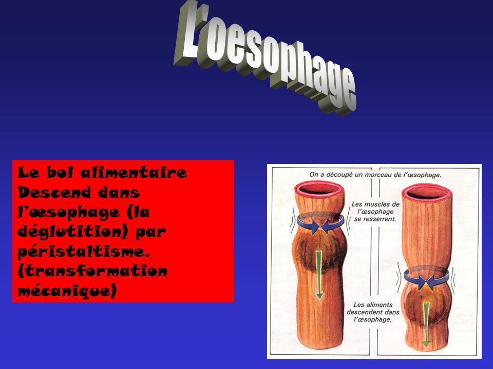 L oesophage Le bol alimentaire Descend dans l'œsophage (la déglutition) par péristaltisme.