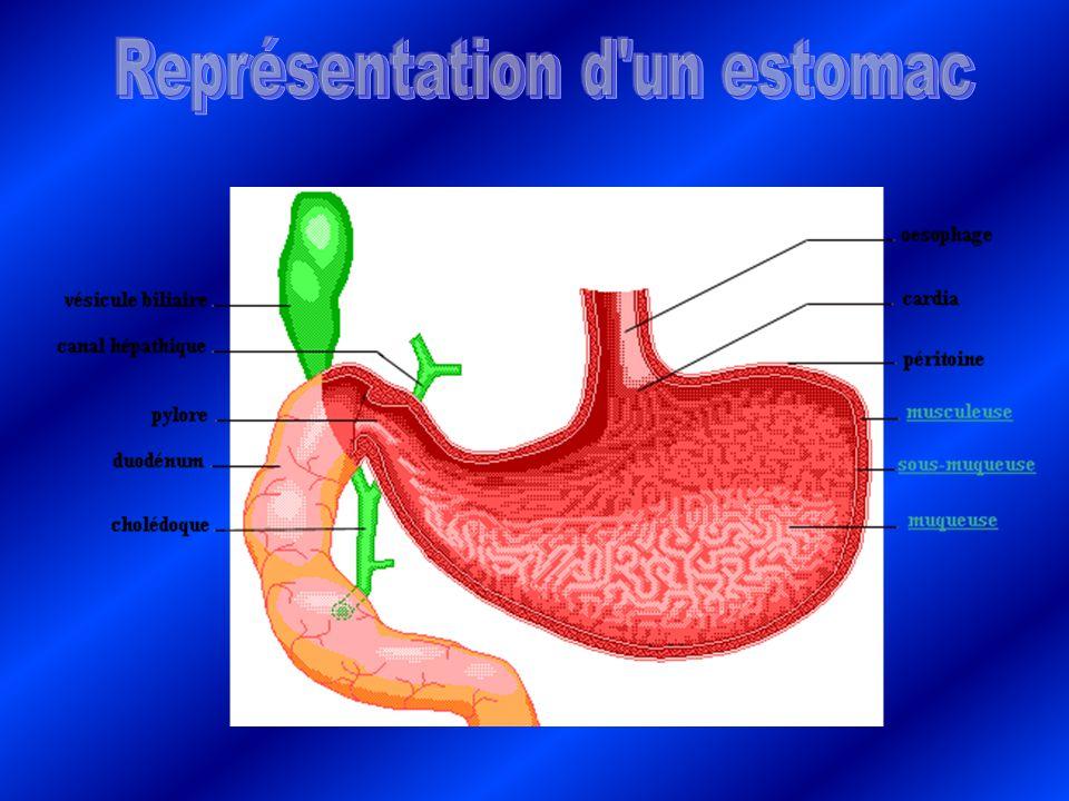 Représentation d un estomac