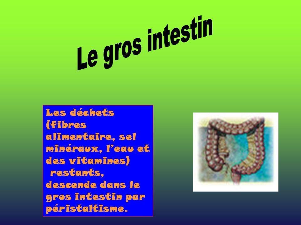 Le gros intestin Les déchets (fibres alimentaire, sel minéraux, l'eau et des vitamines) restants, descende dans le gros intestin par péristaltisme.