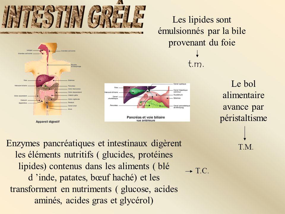 INTESTIN GRÊLE Les lipides sont émulsionnés par la bile provenant du foie. t.m. Le bol alimentaire avance par péristaltisme.