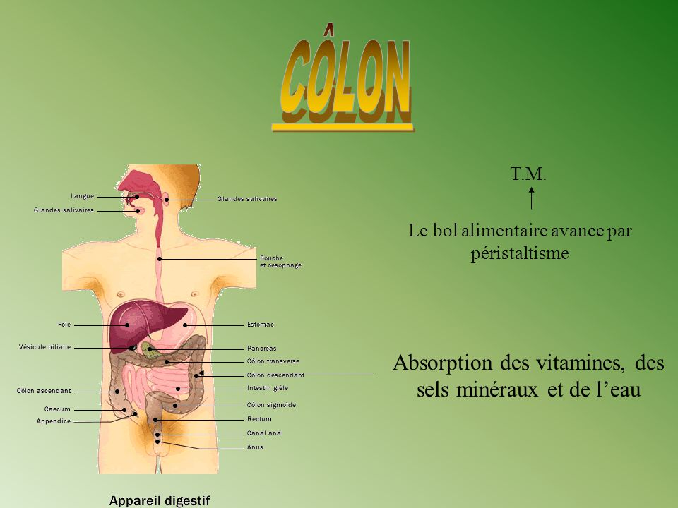 CÔLON Absorption des vitamines, des sels minéraux et de l'eau T.M.