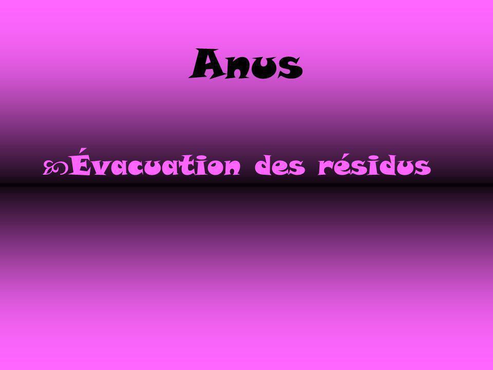 Anus Évacuation des résidus