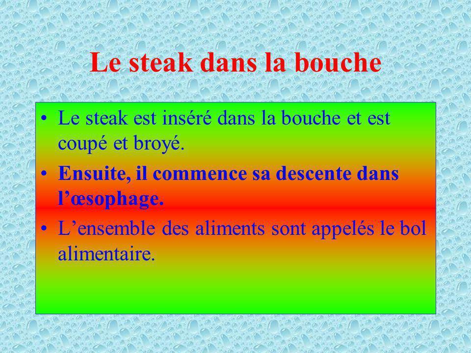 Le steak dans la bouche Le steak est inséré dans la bouche et est coupé et broyé. Ensuite, il commence sa descente dans l'œsophage.