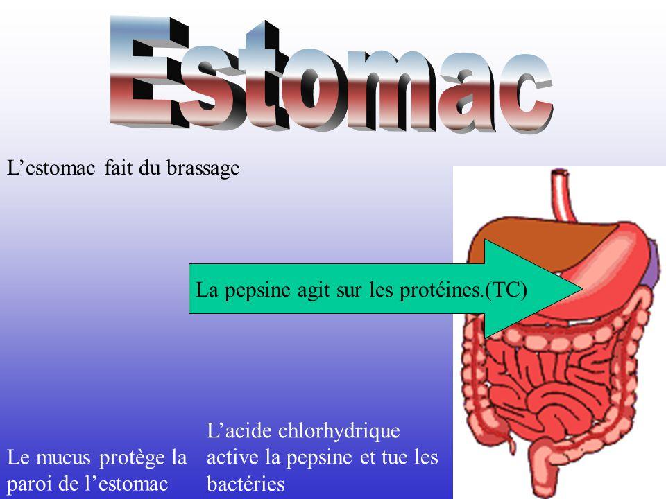 La pepsine agit sur les protéines.(TC)
