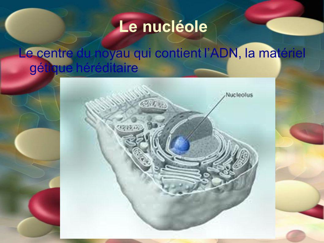 Le nucléole Le centre du noyau qui contient l'ADN, la matériel gétique héréditaire