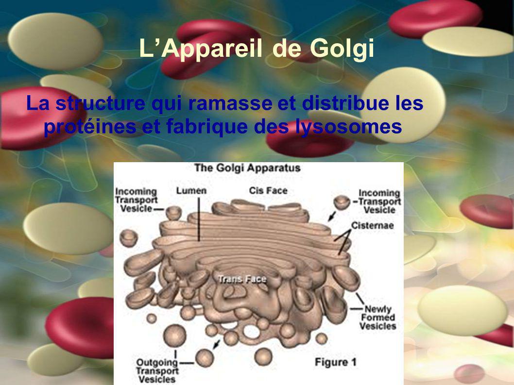 L'Appareil de Golgi La structure qui ramasse et distribue les protéines et fabrique des lysosomes