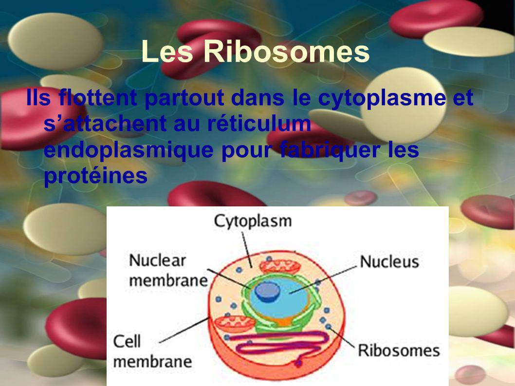 Les Ribosomes Ils flottent partout dans le cytoplasme et s'attachent au réticulum endoplasmique pour fabriquer les protéines.