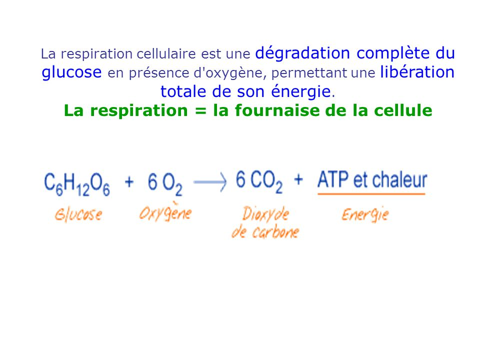 La respiration = la fournaise de la cellule