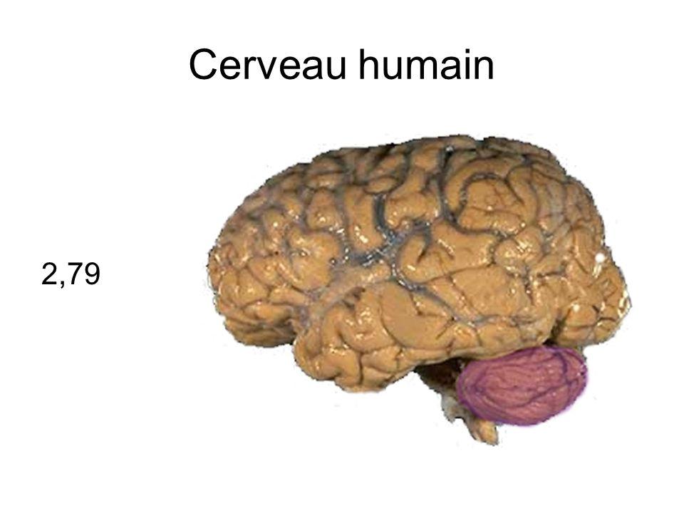 Cerveau humain 2,79