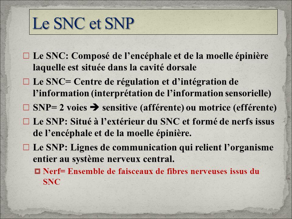 Le SNC et SNP Le SNC: Composé de l'encéphale et de la moelle épinière laquelle est située dans la cavité dorsale.