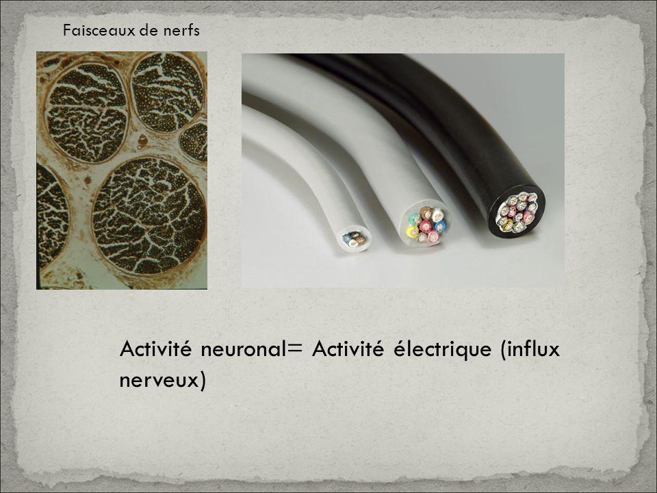 Activité neuronal= Activité électrique (influx nerveux)