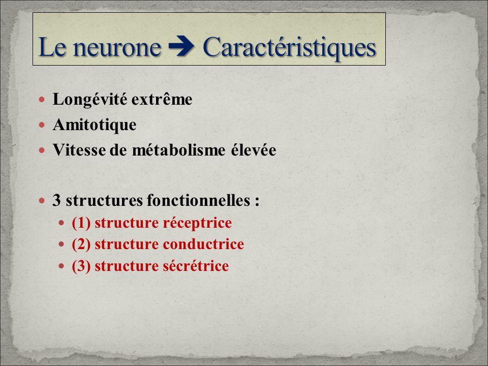 Le neurone  Caractéristiques